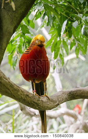 the golden pheasant is walking on a tree branch