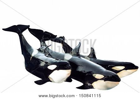Three killer whale, Orcinus Orca, posing together. Isolated on white background.