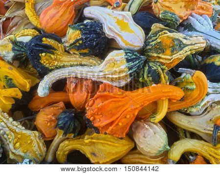 Colorful variety of squash and crook neck gourds