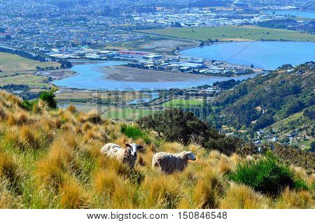 Two Wool Sheep Against Aerial Landscape View Of Christchurch - New Zealand