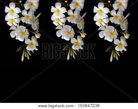 Beautiful white tropical frangipani flower on black background