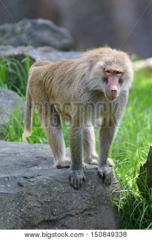 Young Hamadryas Baboon, native to the Horn of Africa and the southwestern tip of the Arabian Peninsula poster