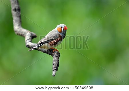 Zebra Finch Exotic Bird Sit On A Tree Branch