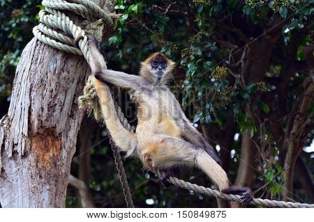 Spider monkey (Ateles geoffroyi) stand on a rope. It live in tropical forests of Central and South America, from southern Mexico to Brazil. Spider monkey is endangered animal