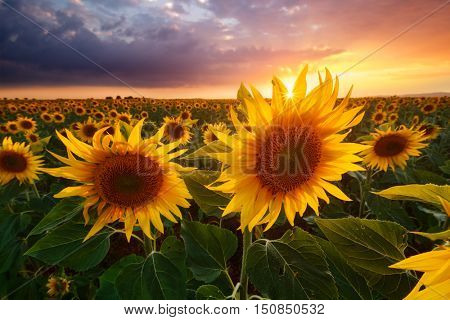 Sunflowers during sunset