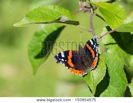 Red Admiral butterfly (Vanessa atalanta) basking on an apple tree leaf