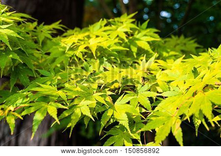 Autumn Maple Leaves Background. Yellow Foliage Texture