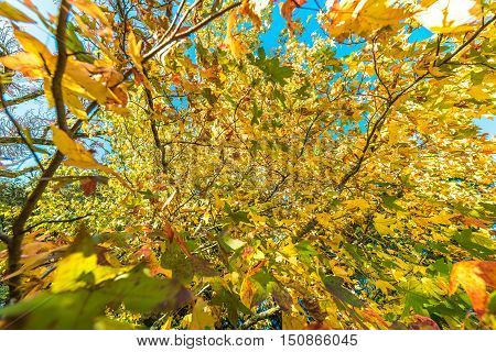 Autumnal Background Of Yellow Leaves Against Blue Sky