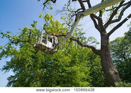 Gardener Or Tree Surgeon Pruning A Tree