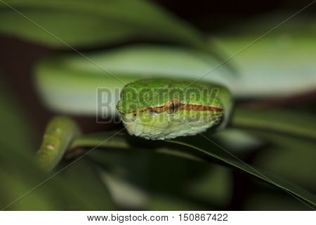 Temple Viper Snake (Wagner's Pit Viper). Green snake in tree