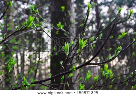 молодые зеленые листочки распустились в лесу весной