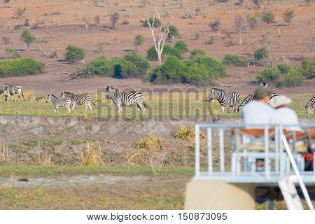 Tourist Watching Herd Of Zebras Grazing In The Bush. Boat Cruise And Wildlife Safari On Chobe River,