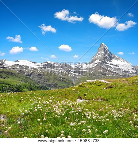 Views of the mountain Matterhorn with cottongrass on meadow in the foreground, Pennine alps in Switzerland.