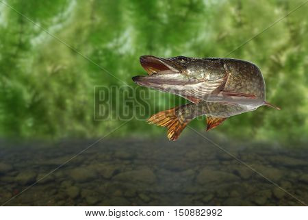long pike on plants and stones background