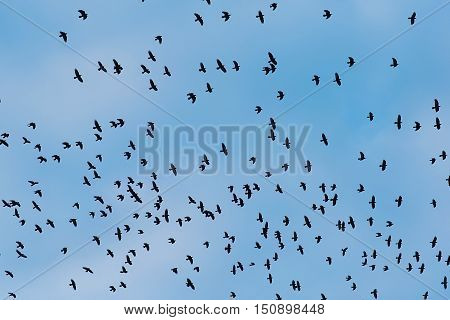 Crows In Flight On A Blue Background