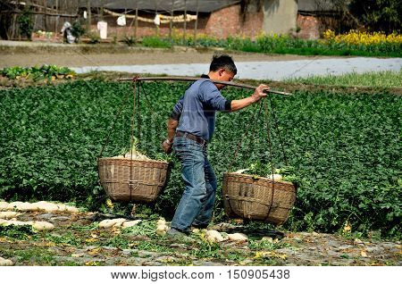 Pengzhou, China - March 14, 2014: Chinese farmer carrying two wicker baskets filled with freshly dug white Daikon radishes across a field on his Sichuan province farm.