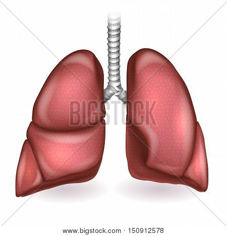 Lungs Detailed Anatomy Illustration On A White Background