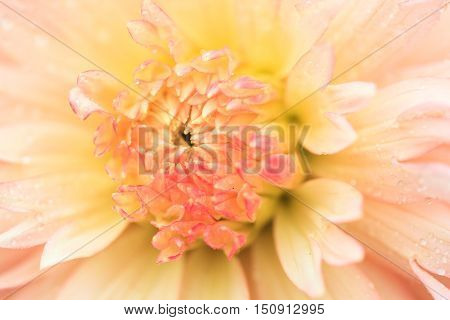 Macro of a yellow dahlia - cultivar Hapet Champagne
