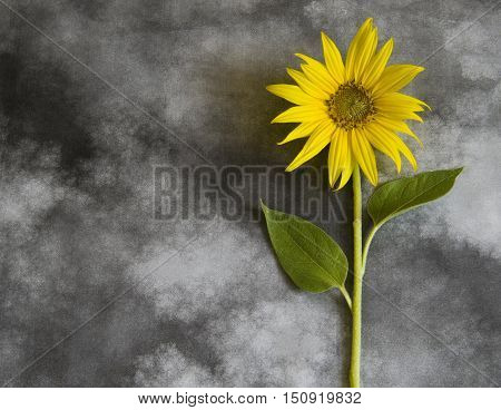 Yellow sunflower on dark background - condolence card