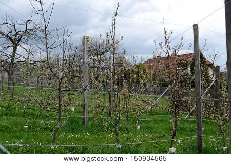 Numerous fruit trees in a garden in the trellises