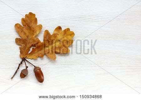flat lay of oak leaves with acorns in hats on light wood surface top view / concept autumn season