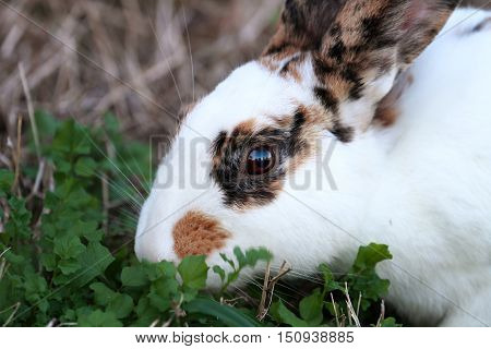 Calico pet rabbit eating greens outdoors. Extreme shallow depth of field with selective focus on bunny's eyes.