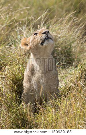 Juvenile african lion looking upwards Masai Mara National Reserve Kenya Africa