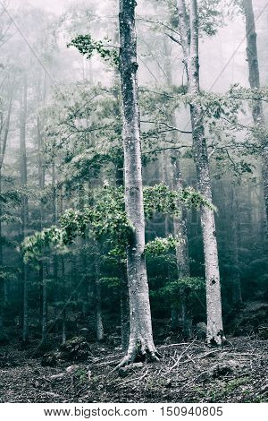 Trees in the forest with fog and wind in desaturated colors