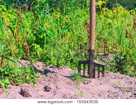 Old village Farmers Pitchfork standing upright in the dirt soil green grass plants