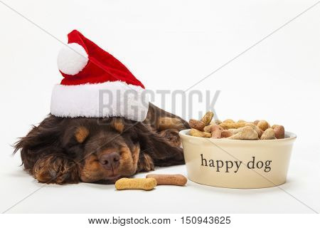 Cute Cocker Spaniel puppy dog wearing a Christmas Santa hat sleeping by Happy Dog bowl of bone shaped biscuits
