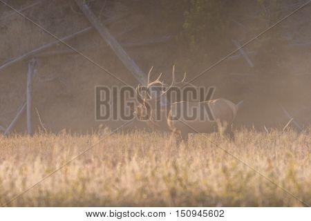 a bull elk bugling in a foggy meadow in the rut