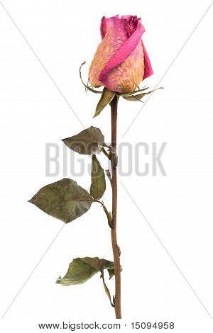 Pink Dry Rose