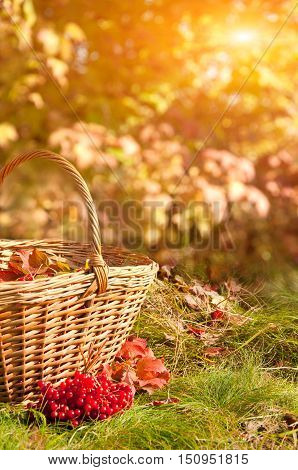 Beautiful autumn background. Viburnum berries in the basket on grass.