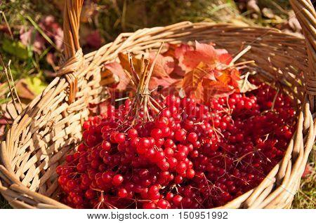 Viburnum berries in the basket. Autumn harvest