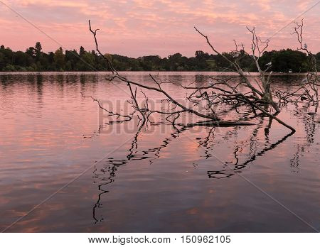 Birds perch on old branches of dead tree relected in the mere at Ellesmere Shropshire in England at sunset