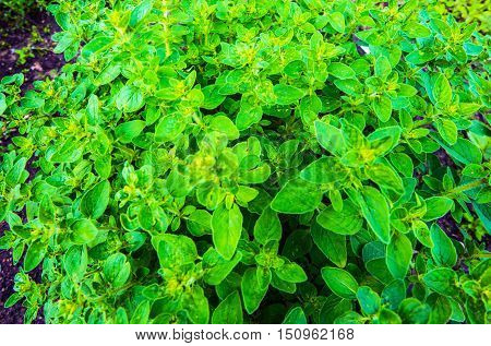 Cultivation Organic Oregano. Oregano Plant Closeup Photo.