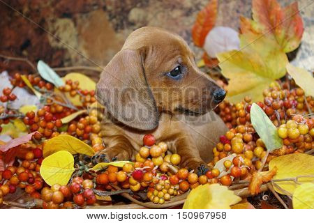 Fall Themed Dachshund Puppy in an autumn holiday scene of red, yellow and orange colored leaves and berries. Profile view of a miniature red smooth haired dachshund puppy dog in a fall display.