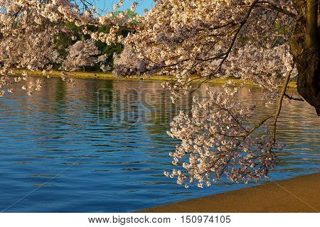 Cherry blossom around Tidal Basin waters in Washington DC USA. Branch with flowers on mature cherry tree.