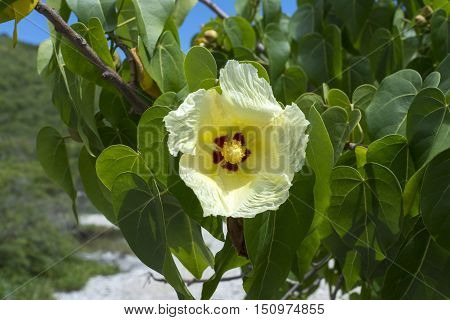 Closeup beautiful yellow flower of Thespesia populnea Indian tulip tree commonly called portia tree with green lush leaves on Caribbean island
