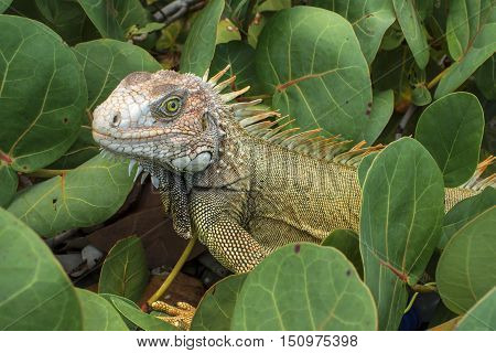 Closeup of beautiful wild green iguana among sea grape branches on Caribbean island of Isla Culebra