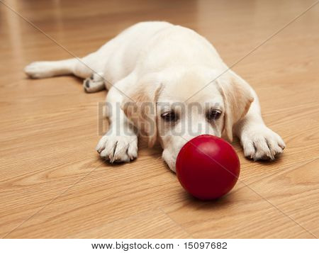 Labrador retriever puppy lying on the floor and playing with a red ball poster