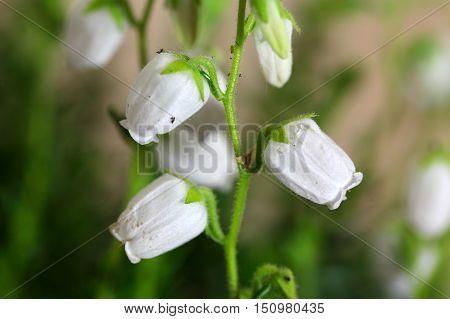 White flowers of the heath Daboecia cantabrica.