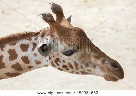 Kordofan giraffe (Giraffa camelopardalis antiquorum), also known as the Central African giraffe. Wildlife animal.