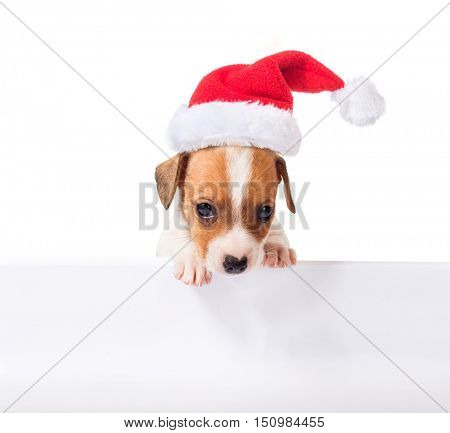 Jack Russell Terrier puppy in red santa cap with white poster for inscription  isolated on white background