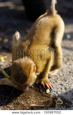 A lonely male long-tail mountain monkey drinking water from the ground. macaca monkey in Thailand