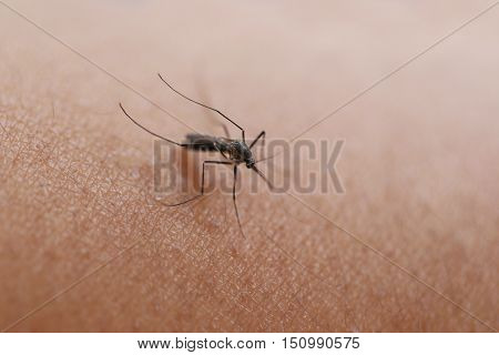 Mosquito sucking blood on the armconcept of health and dengue fever.