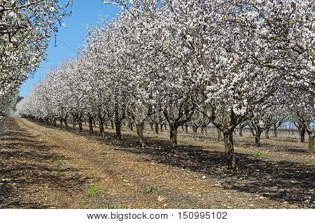 Flowering Almond Garden at the Foot of the Mount Tabor in Israel