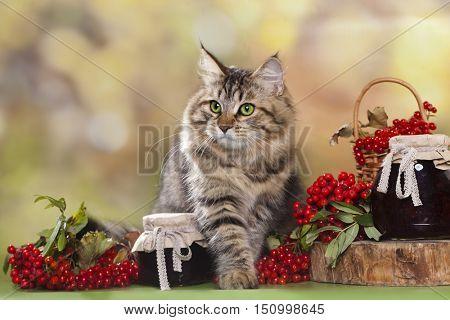Siberian cat and Viburnum berries and jam in a jar