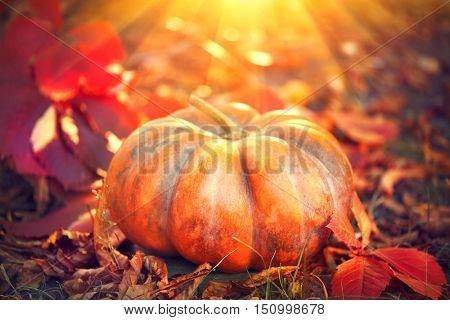 Autumn Halloween Pumpkin. Thanksgiving day background. Pumpkin patch. Beautiful Holiday Autumn festival concept. Fall scene. Orange pumpkin over beauty bright autumnal nature background. Harvest