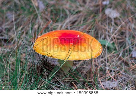 Deadly Toxic Poison Mushroom Red Orange Fly-agaric Blusher In Acerose